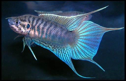 райская рыбка макропод