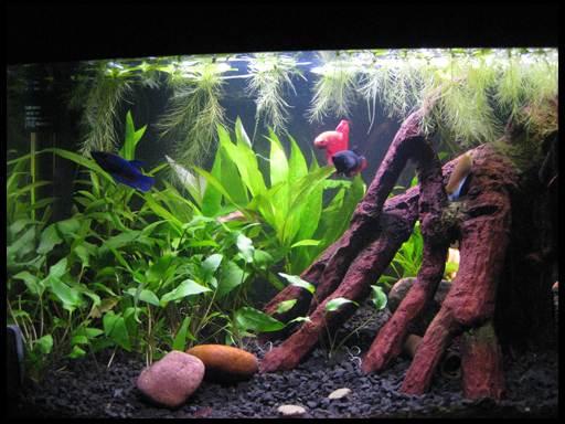 петушки аквариумные размножение