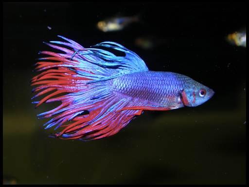 петушки аквариумные болезни