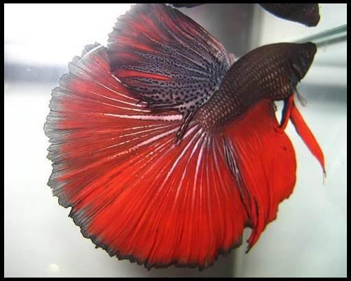 петушки аквариумные содержание и уход