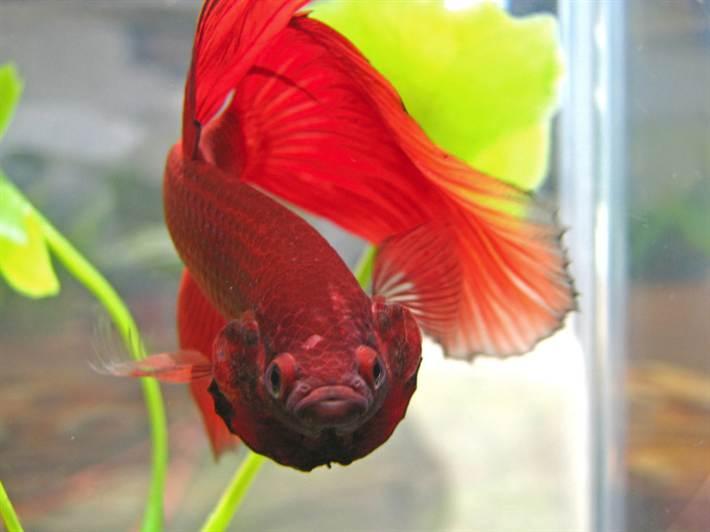 петушок аквариумная рыбка