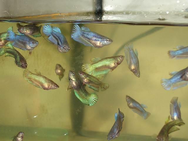 петушки аквариумные