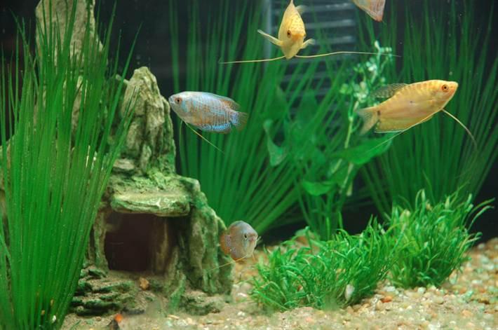содержание разных гурами в одном аквариуме
