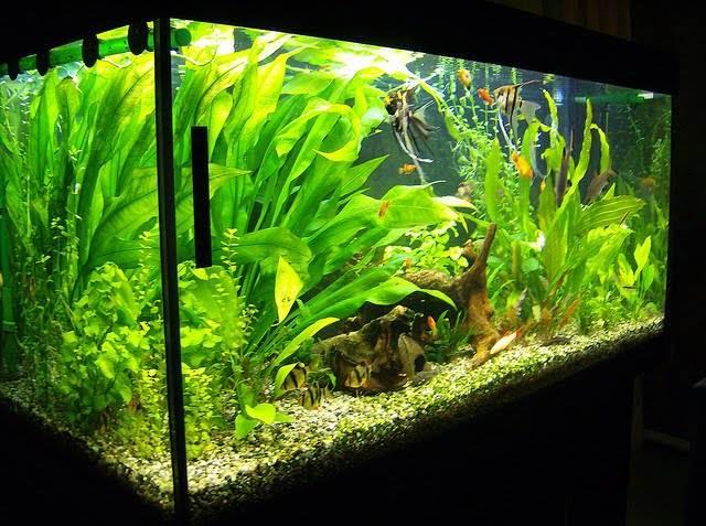 В аквариуме со скаляриями желательно