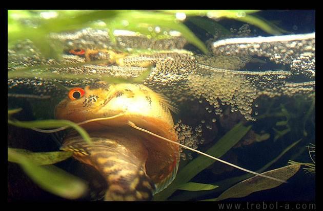Аквариумные рыбки и растения - Аквариумные рыбки Гурами