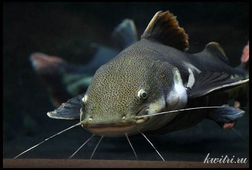 рыба сом фото