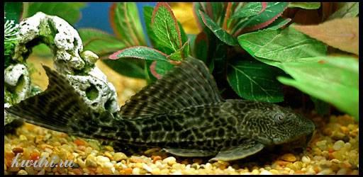 мирный аквариумный сом