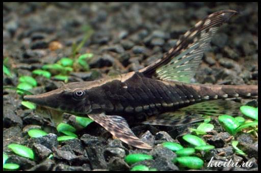 аквариумные сомики фото