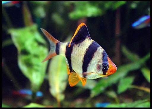 Барбус рыбка размножение ножницы аллигаторные н 313