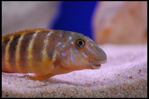 рыба гоблин фото