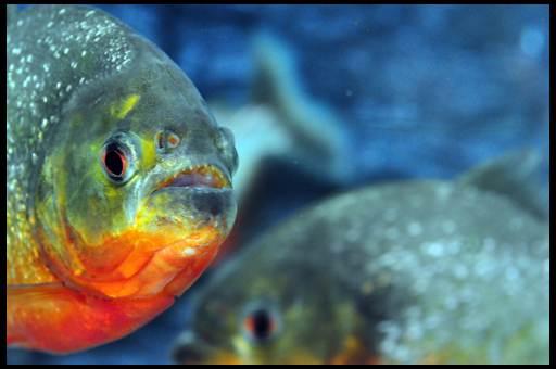 аквариумные рыбки пираньи