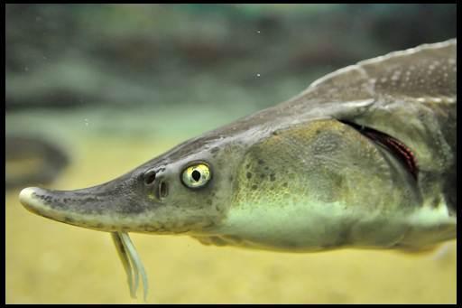 осетр аквариумный