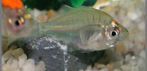 прозрачная аквариумная рыбка