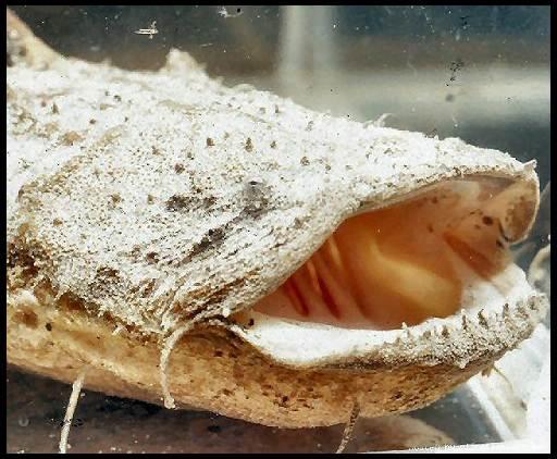 лягушкорот сом