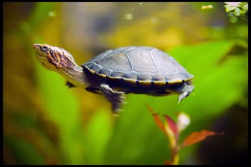 с кем может жить черепаха