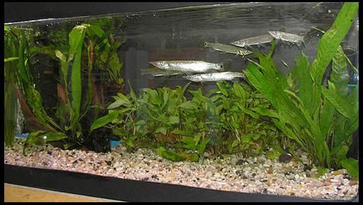содержание щучки в аквариуме