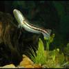 змееголовd1