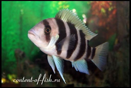агрессивные аквариумные рыбки
