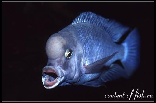 хищник аквариумный