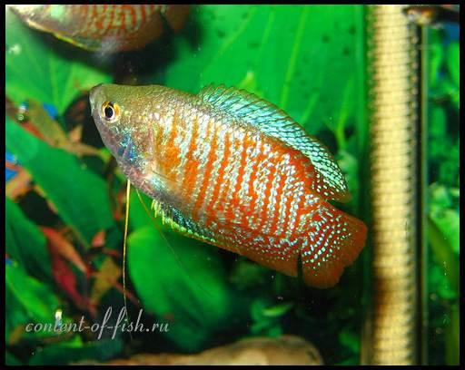живородящая аквариумная рыбка