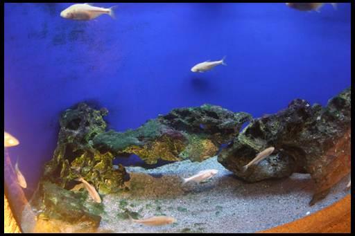 слепая рыбка астианакс