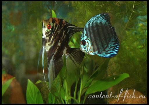 совместимость дискусов с другими рыбками