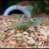 креветка-Blue-Pearl-Shrimp