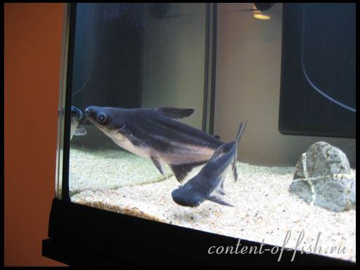 акулий сом фото
