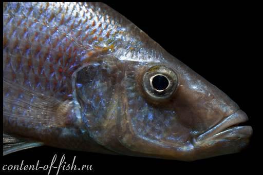 хищная рыбка