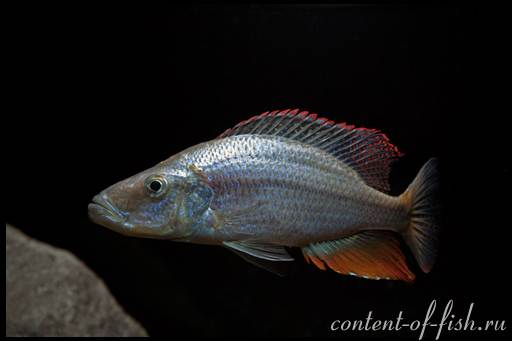 хищные аквариумные рыбы