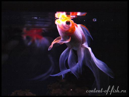золотые рыбки виды