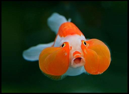 золотые рыбки породы