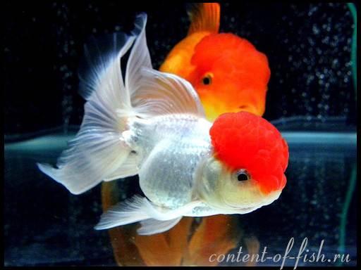 виды золотых рыбок