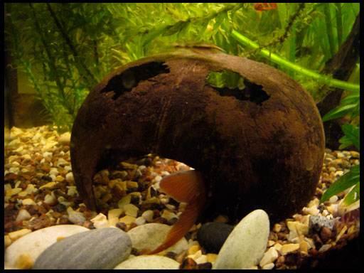 использование кокоса в аквариуме