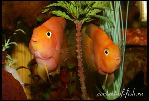 аквариумная рыбка попугай фото