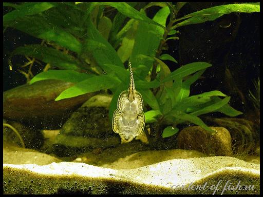 чистильщик аквариума