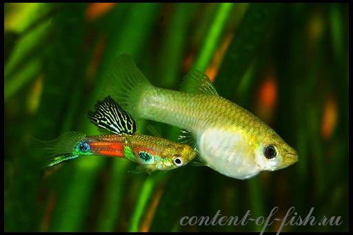 аквариумные гуппи рыбки размножение