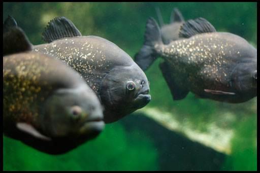 аквариумные хищники