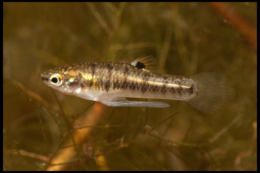 рыбка формоза фото