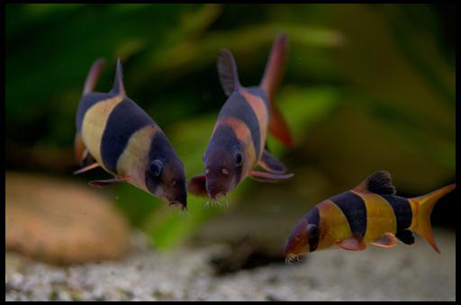 рыбка полосатая