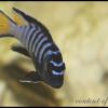 Pseudotropheus-Elongatus3225