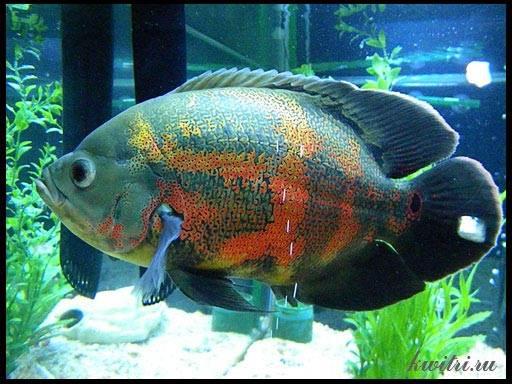 хищные рыбки