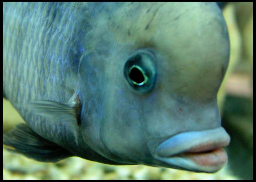 голубая рыбка, похожая на дельфина