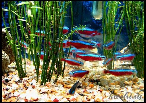 неон аквариумная рыбка