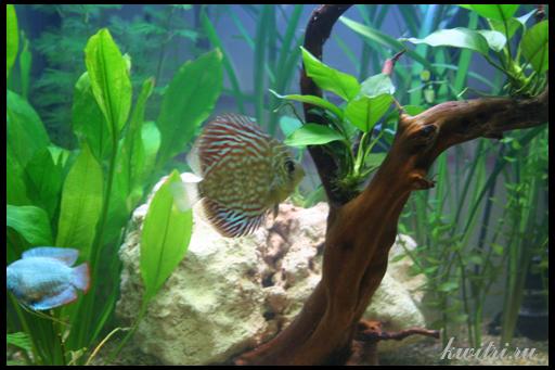 оформление аквариума для дискусов