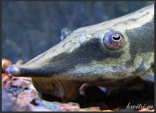 сомы аквариумные фото