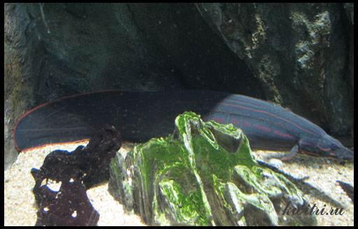 хищные аквариумные рыбки