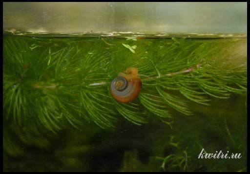 как избавиться от улиток катушек в аквариуме