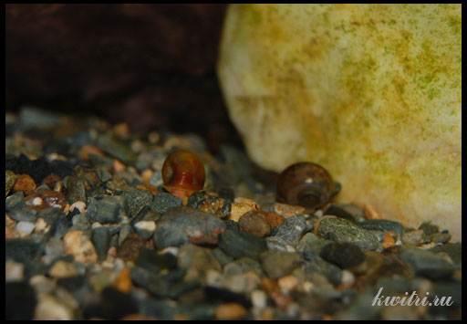 какие аквариумные рыбы едят улиток катушек