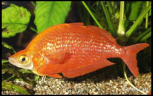 радужница рыбка